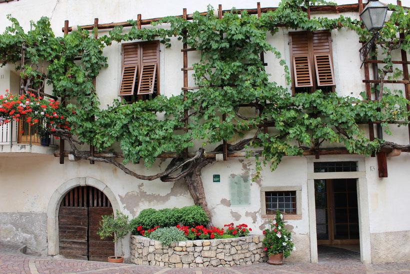 Geocaching führt uns zur ältesten Weinrebe Südtirols von 1601