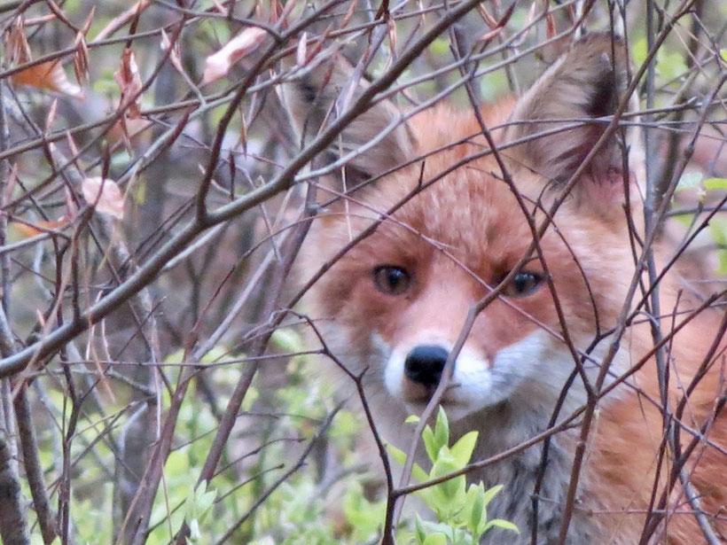 Rotfuchs, Fuchs, Fuchsgesicht, Müritz-Nationalpark