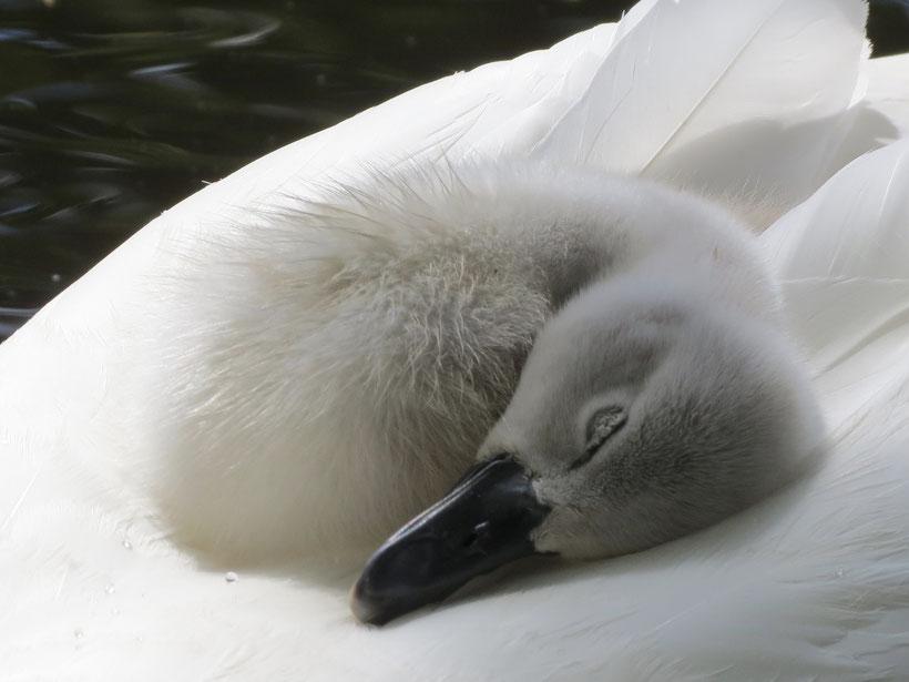 Schwan, Baby, Gössel, schlafen, Rücken