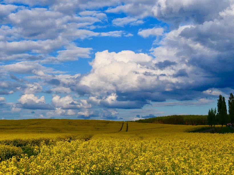 Rapsfeld, Raps, Mecklenburg, blauer Himmel, Urlaub
