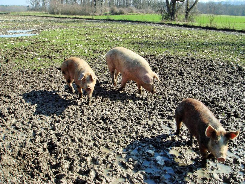 Daheim bei den Hobl Schweinen