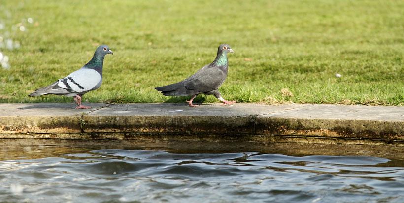 Tauben aus Wiesbaden (2015)