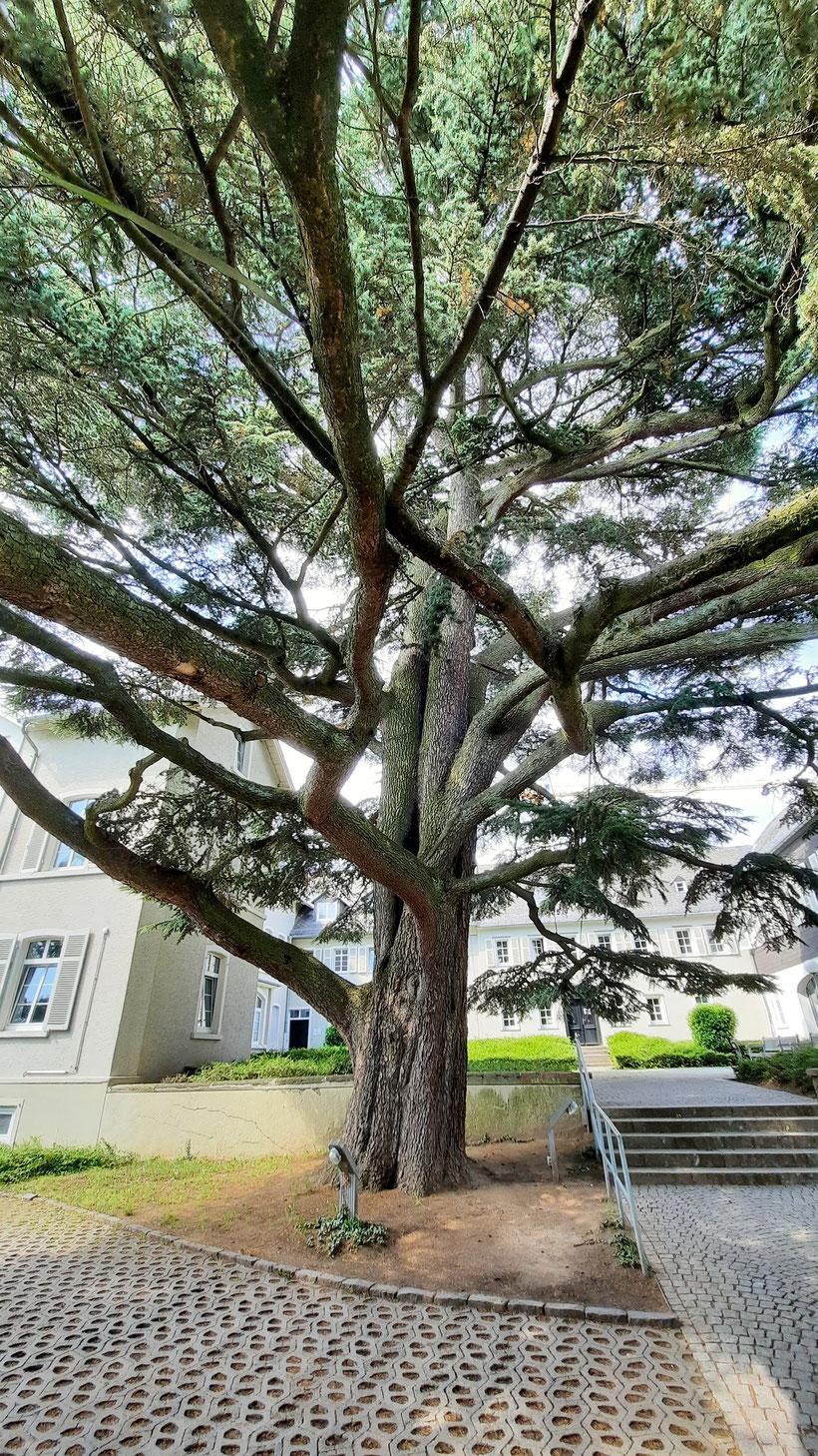 Libanon-Zeder Wiesbaden Zeder Libanon Bäume