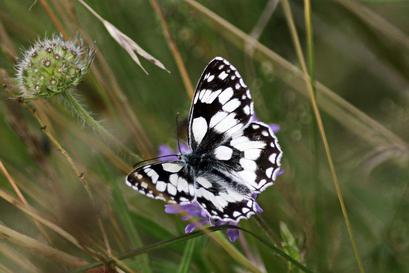 Schmetterling, Insekten, Fotografie, Naturfotografie, Haas, Blitzlichtkabinett, Jagod