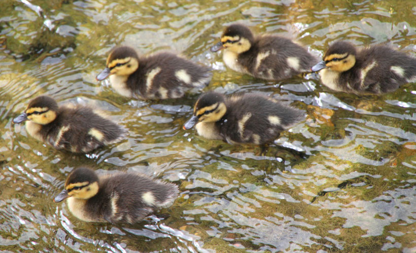 Entenbabys aus Sierck-les-Bains