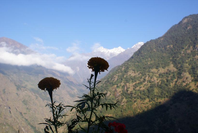 Fleurs Himalaya, Langtang, Népal