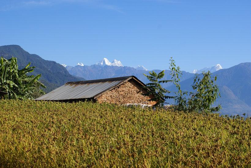 Champ de millet, Helambu, Népal
