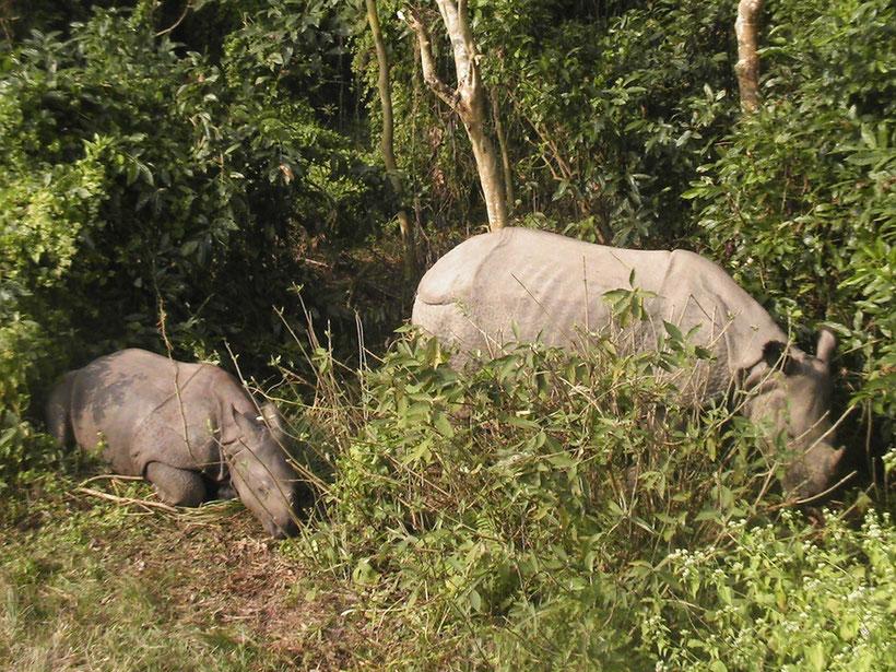 Rhinocéros unicorne, Chitwan National Park, Nepal
