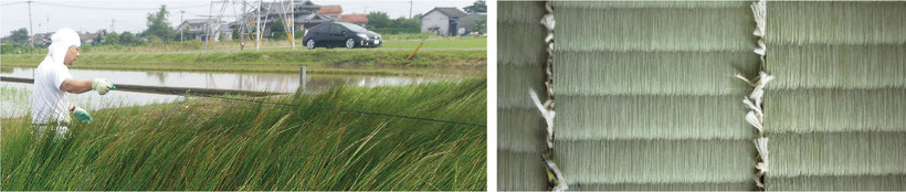 い草の畑の様子 畳表の画像