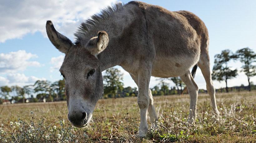 Esel-Workshop | Esel auf der Weide