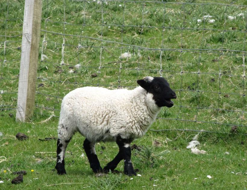 Ob aus meiner Wolle auch Harris Tweed wird? ;-)