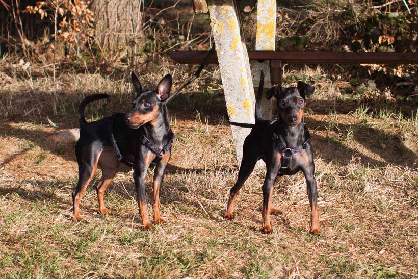Aus meinem Hundealbum Pollux & Coco zwei Zwergpinscher