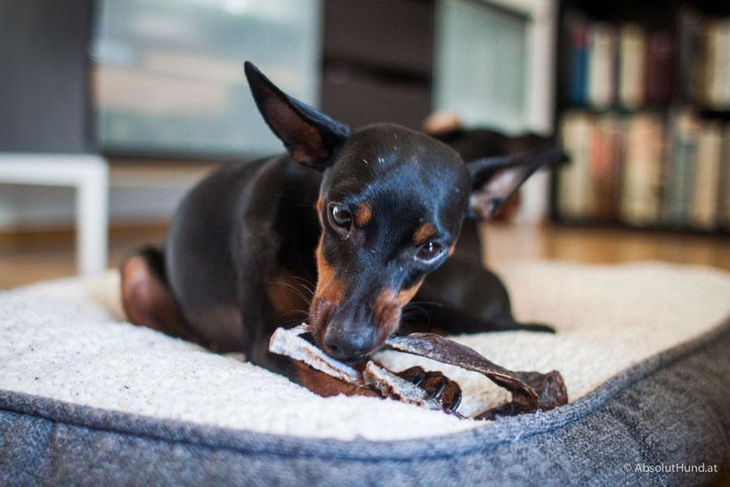 Kauartikel für den Hund: Wenn der Kauspaß zur Gefahr wird