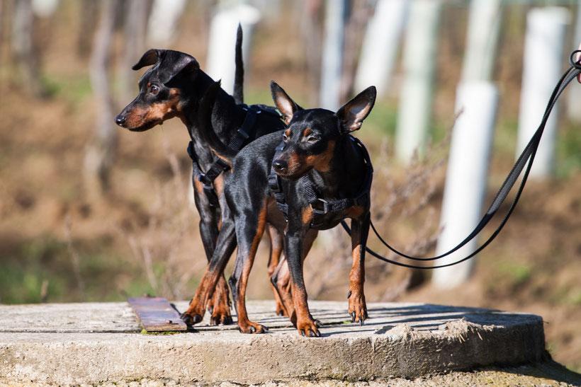 Ein Spaziergang in den Gumpoldskirchntr Weinbergen, Hund