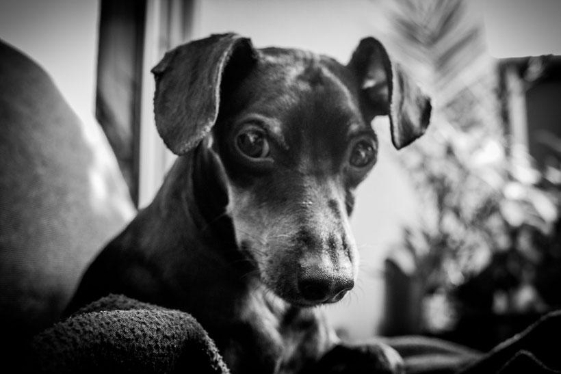 Aus meinem Hundealbum, Pollux Zwergpinscher Blog