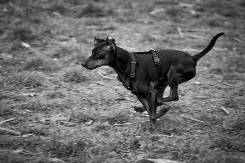Aus meinem Hundealbum, Zwergpinscher, Hund