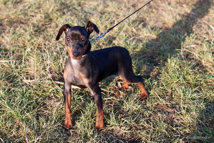 Hund Zweigpinscher, Welpe