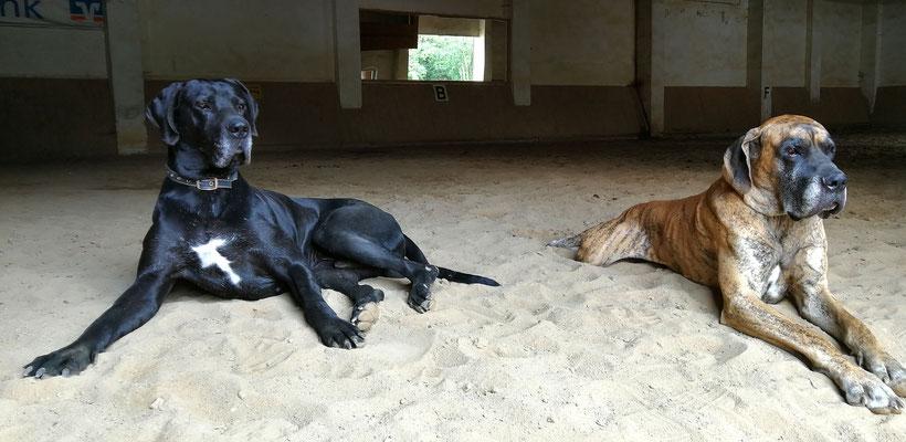 Angst vorm Hund kennt bei uns keines der Pferde - schon die Jungpferde werden im Beisein dieser zwei Kollegen gearbeitet