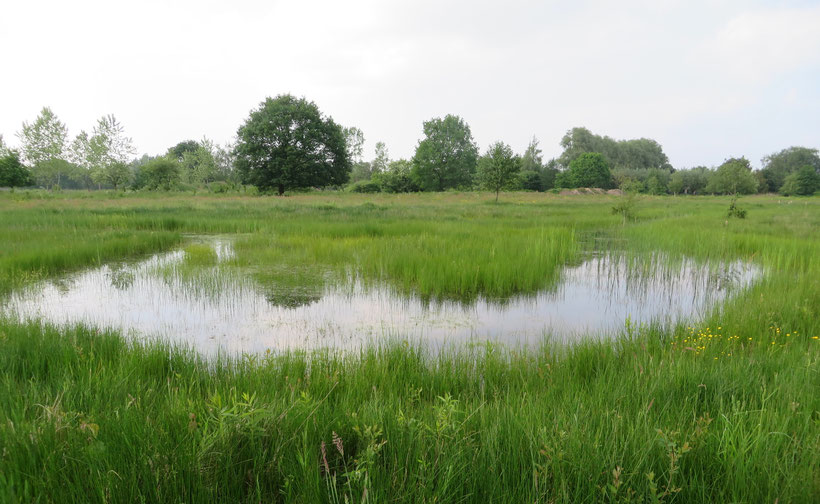 Zumpe Groenendaal natuurontwikkeling Littorellion