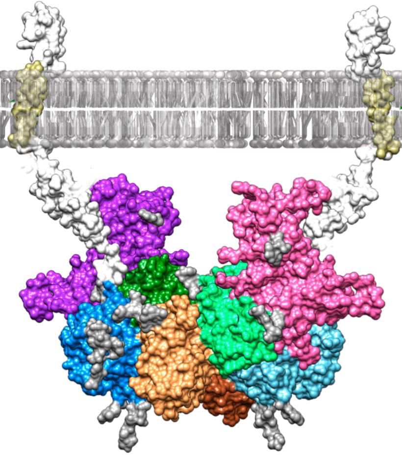 Modell des Molekülkomplexes, der aus der Verbindung des Blutplasmaproteins Fetuin-B (lila und rosa) und des Enzyms Meprin-β (andere Farben) entsteht  Abb./©: U. Eckardt et al. (PNAS, 6. April 2021)