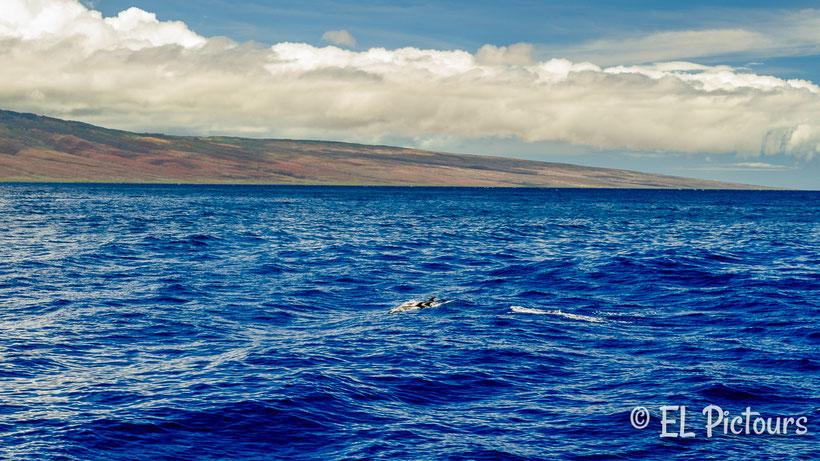 Delfine vor Laina'i, Hawaii
