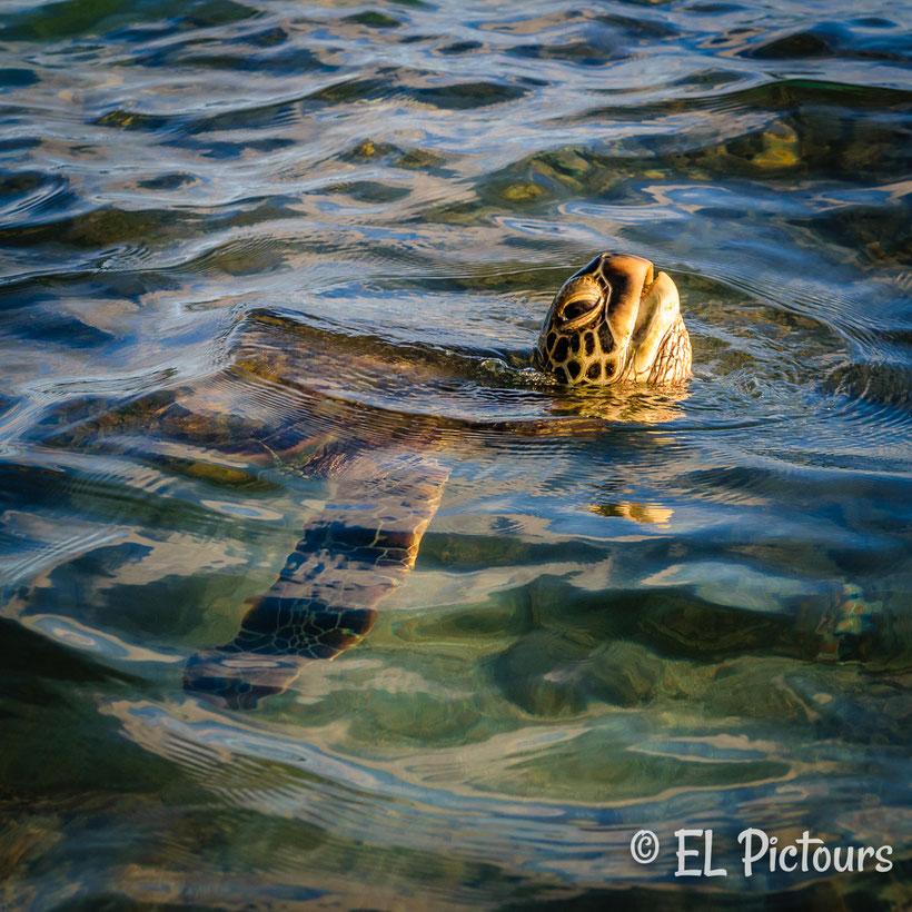 Meeresschildkröte, Baby beach, Lahaina, Maui, Hawaii