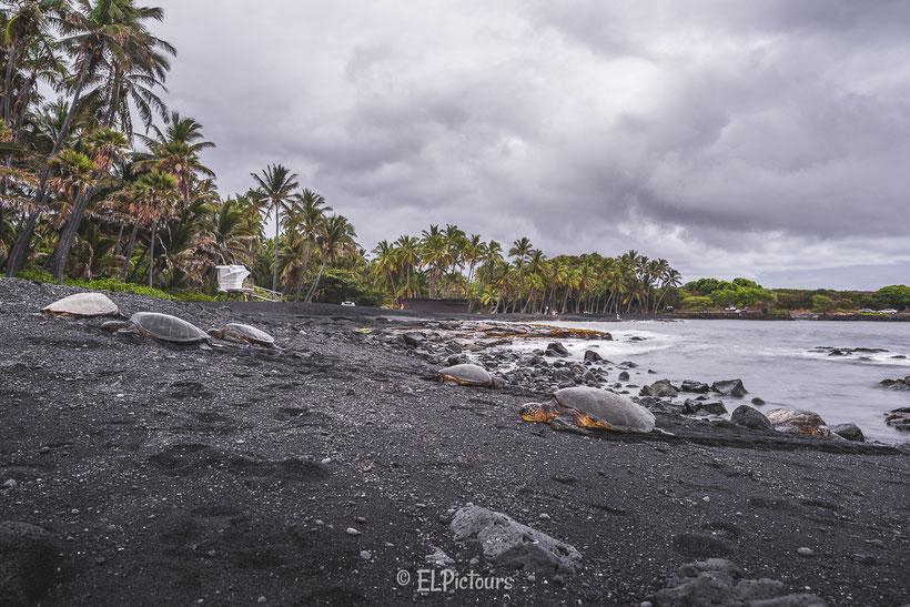 Honu, Punalu'u beach, Big Island Hawaii