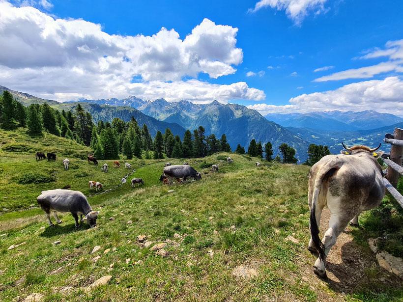 Kühe auf der Kalbenalm