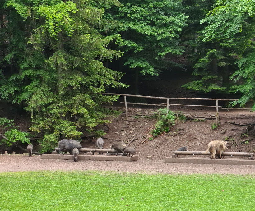 Wildschweine Sparbach Futterstelle