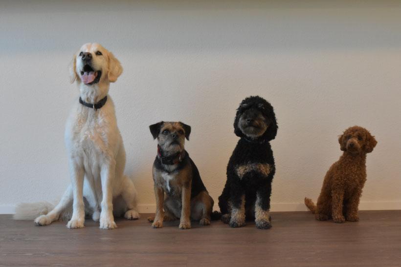 """Golden Retriever """"Rico"""", Border Terrier """"Theo"""", Kleinpudel """"Enya"""" und Zwergpudel """"Eira"""": Welcher Hund gehört...................... ...................zu welchem Menschen auf dem unteren Foto? (Auflösung ganz unten)"""