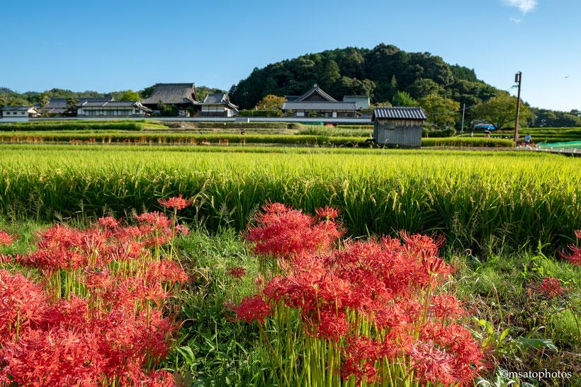 Templo. budismo, nara, asuka, higanbana, flordoequinócio, arroz, Japão