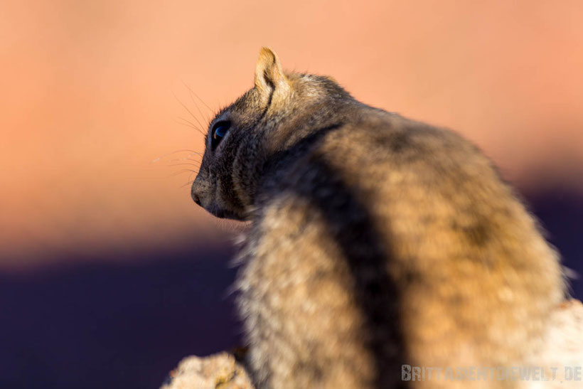 squirrel,grand,canyon,southrim,southkaibabtrail,arizona,colorado,tipps