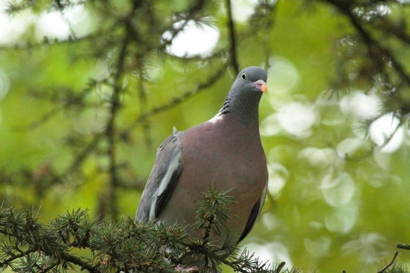 Pigeon ramier columba palumbus