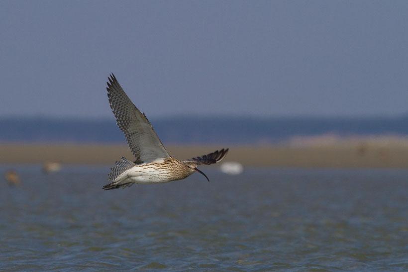 Courlis cendré en vol en baie de Somme Numenius arquata