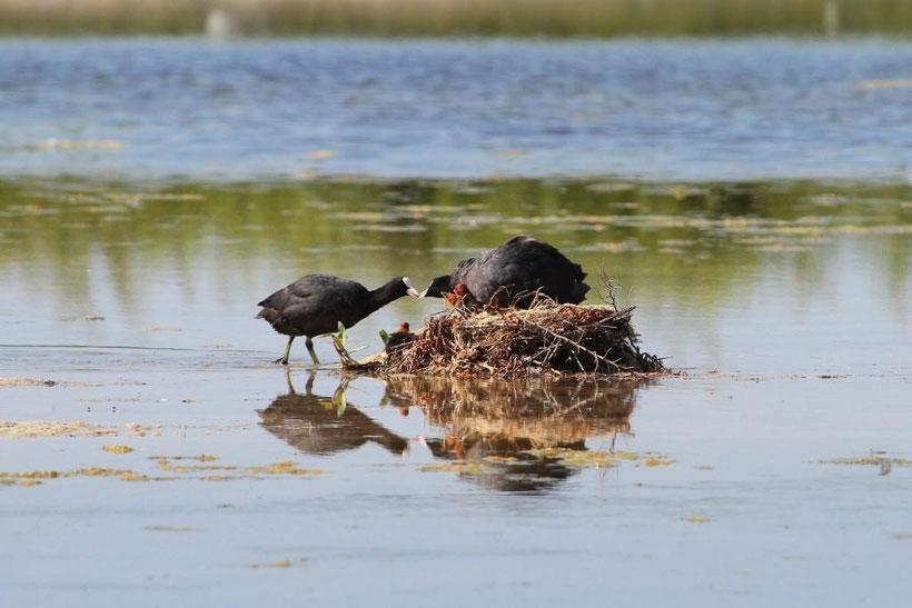 Foulque apportant de la nourriture au nid