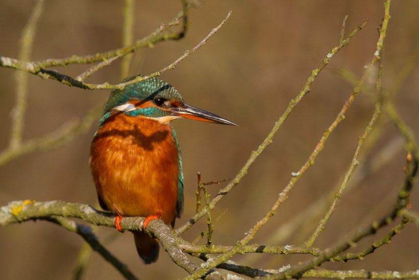 Martin pecheur d'europe Alcedo atthis Common Kingfisher