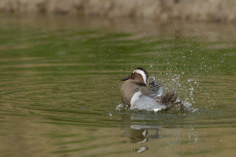 Oiseau, baie de Somme, sarcelle d'été, anas querquedula
