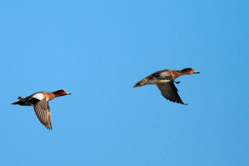 Canard siffleur male et femelle en vol
