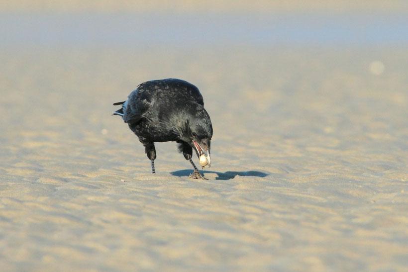 Corneille noire essayant d'ouvrir une coque en baie de Somme (Photo J-M L)