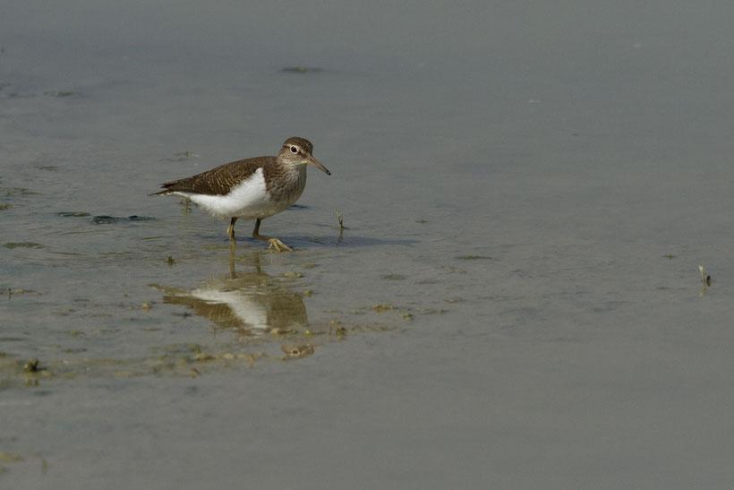 oiseaux, baie de Somme, chevalier guignette, actitis hypoleucos