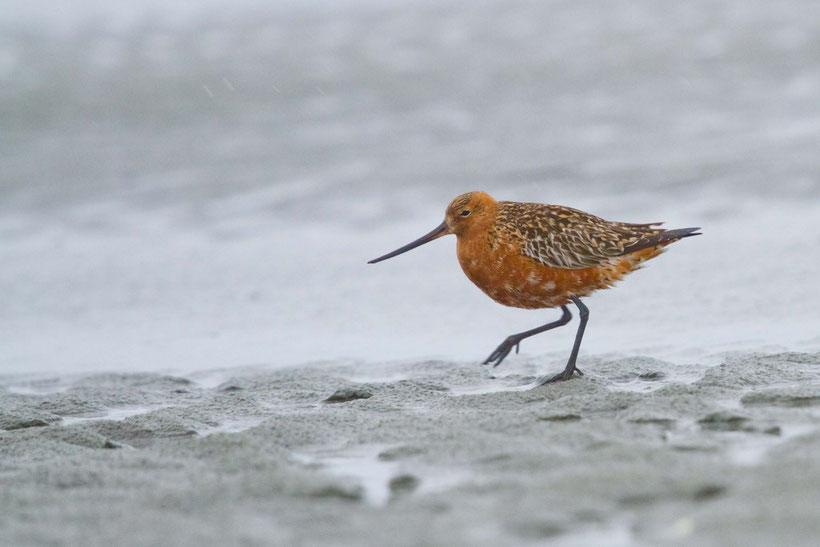Barge rousse mâle en plumage nuptial sous la pluie en baie de Somme