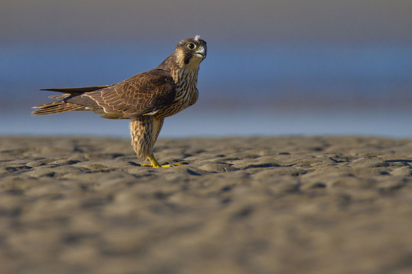 Faucon pèlerin Falco peregrinus