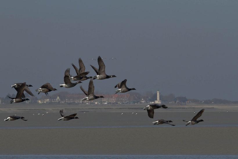 Bernaches cravant branta bernicla en hivernage en baie de Somme