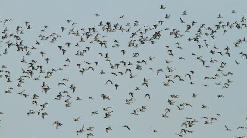 Regroupement hivernal d'huitriers en baie de Somme