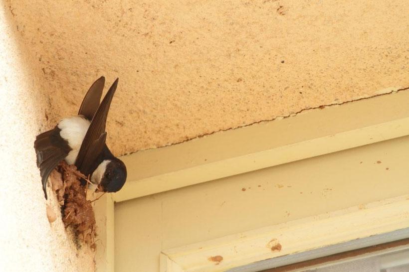 Hirondelle de fenetre Delichon urbica faisant son nid