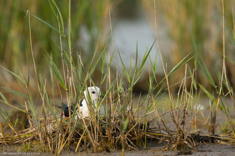 Échasse blanche au nid