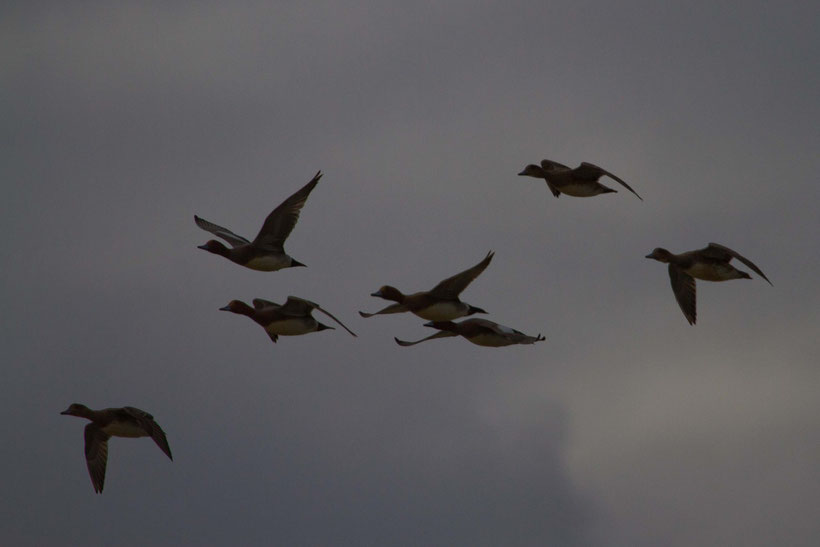 Canard siffleur Anas penelope