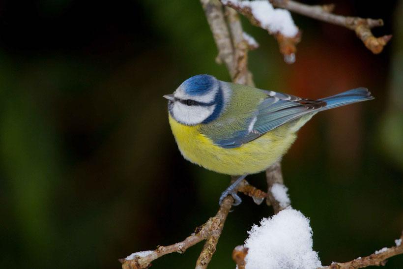 Mésange bleue parus caeruleus