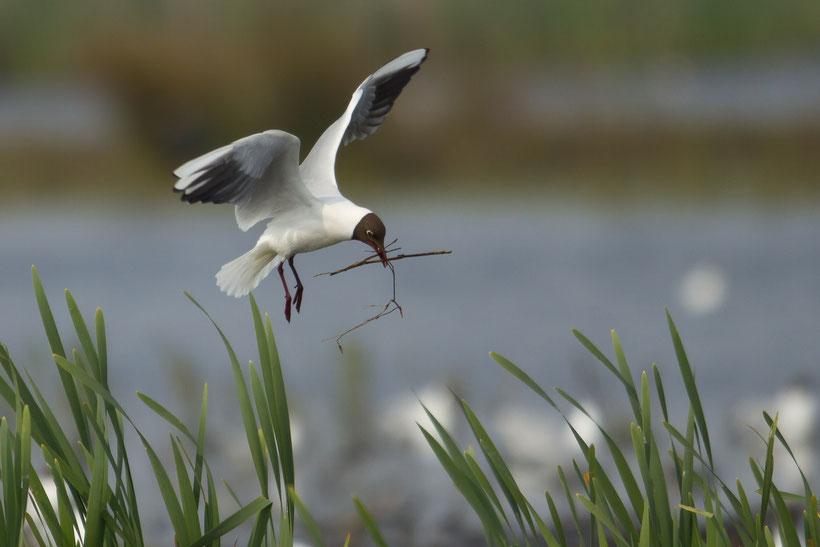 Mouette rieuse apportant des matéraiux au nid Larus ridibundus