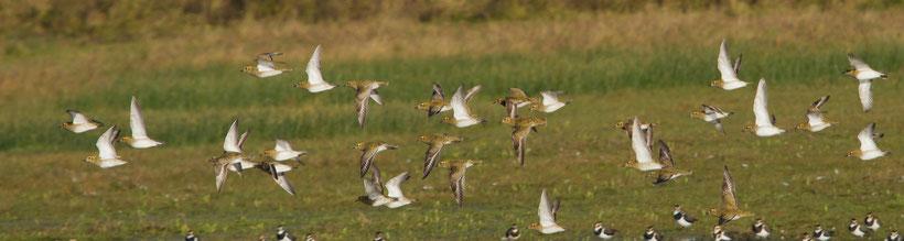 Troupe de Pluviers dorés en plumage internuptial (Photo Jean-Michel Lecat) Cliquer sur l'image pour agrandir